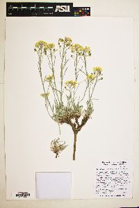 Image of Physaria intermedia