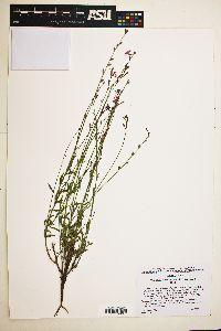 Oenothera suffrutescens image