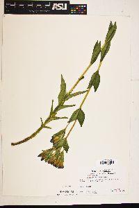 Gentiana sceptrum image