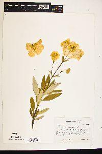 Image of Carpenteria californica
