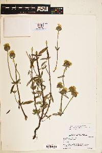 Monardella hypoleuca image