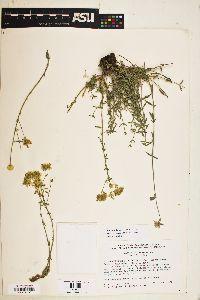Image of Monardella mojavensis
