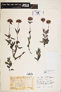Image of Monardella purpurea