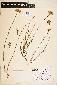 Image of Monardella robisonii
