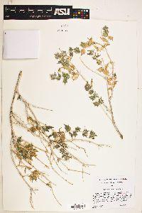 Image of Salvia greatae