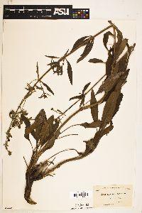Image of Salvia pentstemonoides