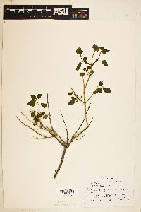 Image of Salvia regla