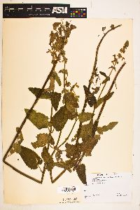 Image of Stachys californica