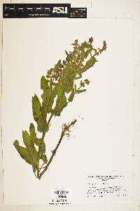 Image of Stachys stricta