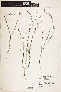 Image of Linum angustifolium