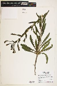 Image of Mentzelia albescens