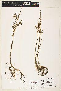 Lythrum ovalifolium image