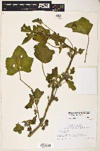 Image of Lavatera cretica