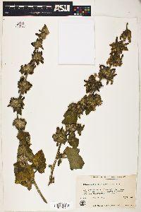 Image of Malacothamnus clementinus