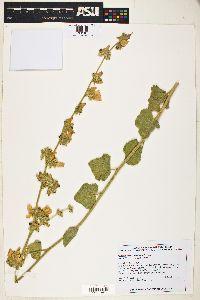 Image of Malacothamnus fremontii