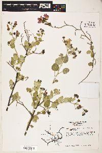 Image of Malacothamnus gracilis