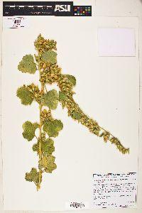 Image of Malacothamnus marrubioides