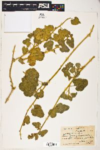 Image of Malvastrum davidsonii