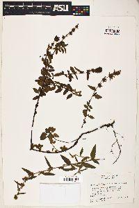 Image of Melochia villosa
