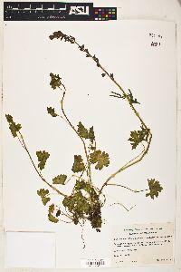 Image of Sidalcea reptans