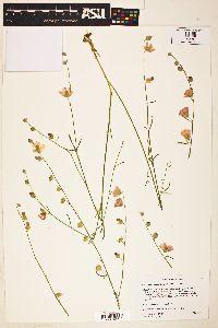 Image of Sphaeralcea janeae
