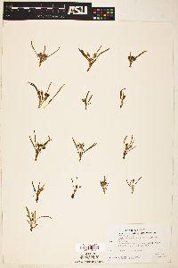 Lewisia nevadensis image