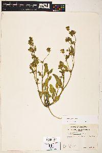 Image of Abronia pogonantha