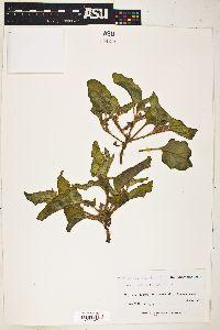 Image of Boerhavia anisophylla