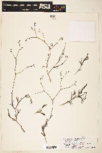 Image of Boerhavia linearifolia