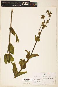 Image of Mirabilis gigantea