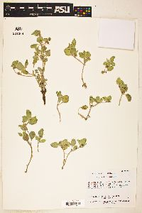 Image of Acleisanthes diffusa