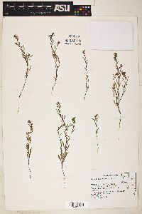 Gayophytum racemosum image