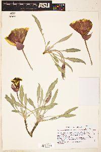 Oenothera howardii image