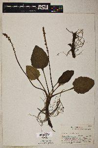 Plantago cordata image