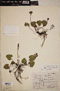 Synthyris reniformis image