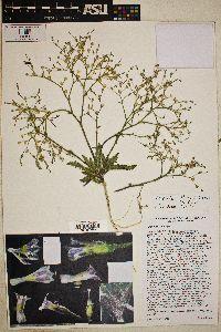 Aliciella lottiae image