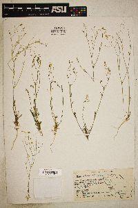 Image of Gilia abramsii
