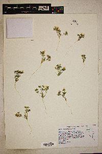 Image of Gilia campanulata