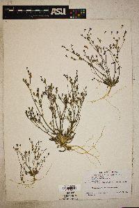 Aliciella micromeria image