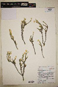 Linanthus pungens image
