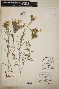Phlox viridis image