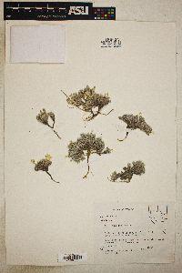 Phlox tumulosa image