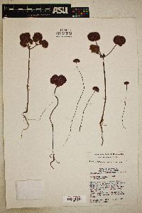 Chorizanthe palmeri image