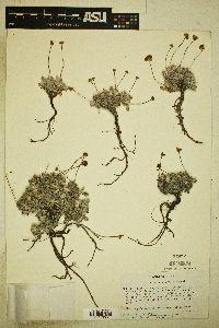 Image of Eriogonum argophyllum