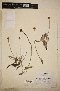 Image of Eriogonum brandegeei