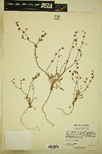 Eriogonum cithariforme image