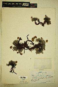 Image of Eriogonum gilmanii