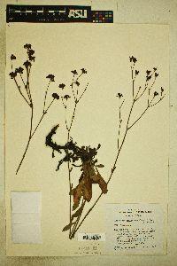 Eriogonum hemipterum image