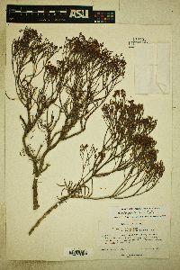 Image of Eriogonum helichrysoides