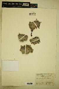 Eriogonum kennedyi image